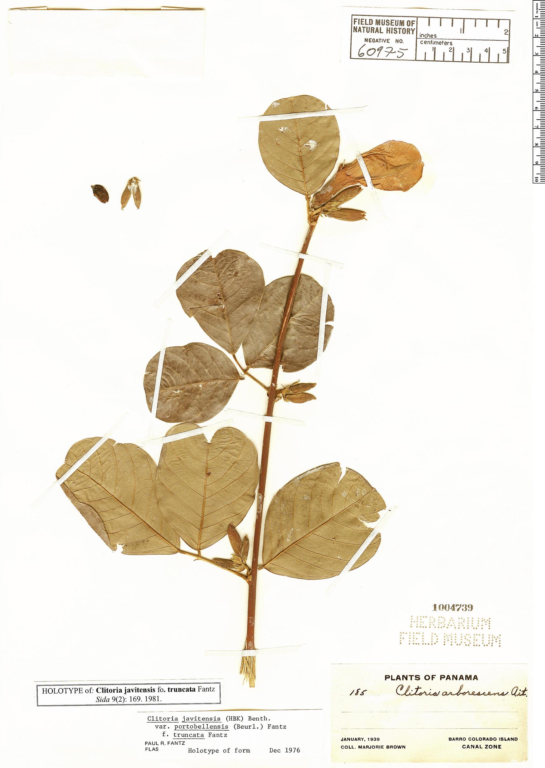 Specimen: Clitoria javitensis
