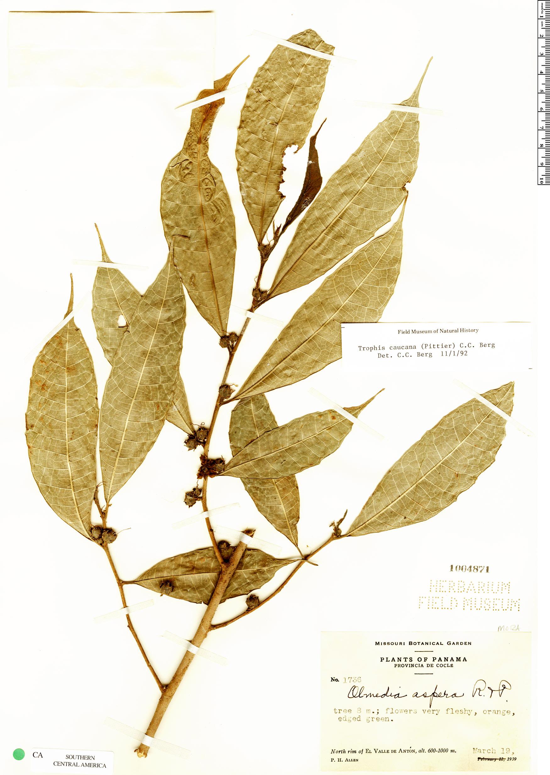 Specimen: Trophis caucana