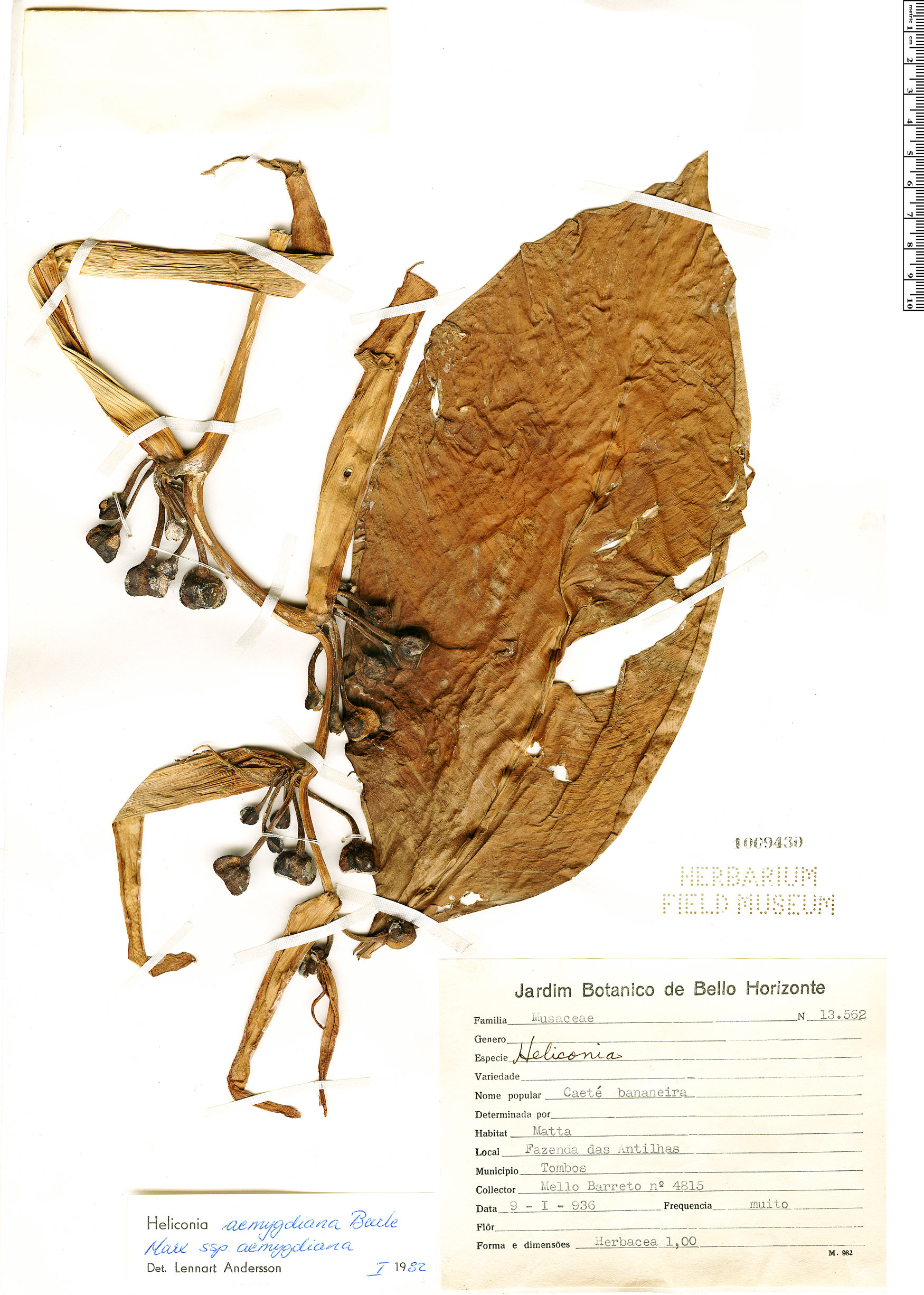 Espécimen: Heliconia aemygdiana