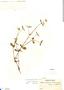 Alternanthera halimifolia image