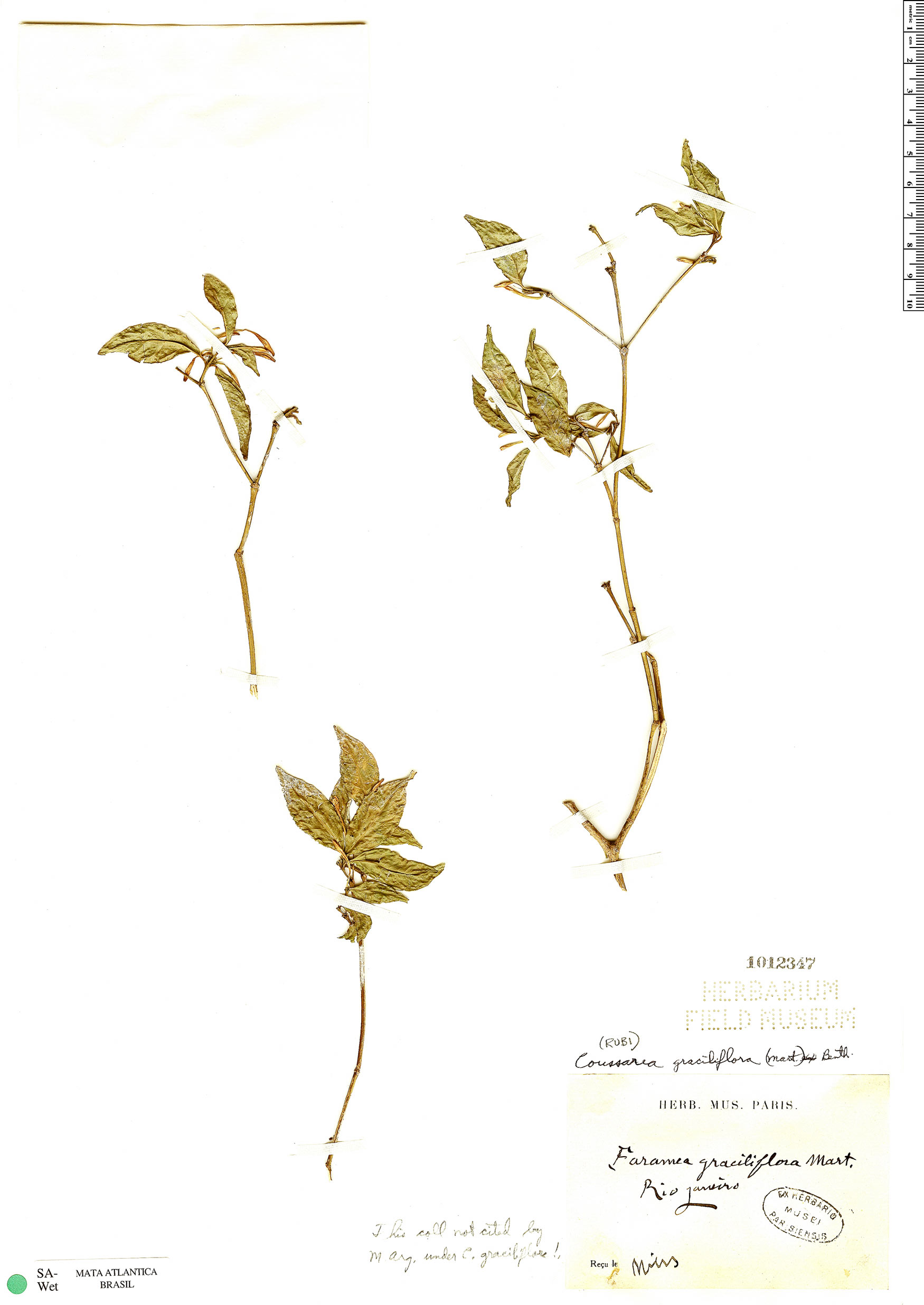 Espécime: Coussarea graciliflora