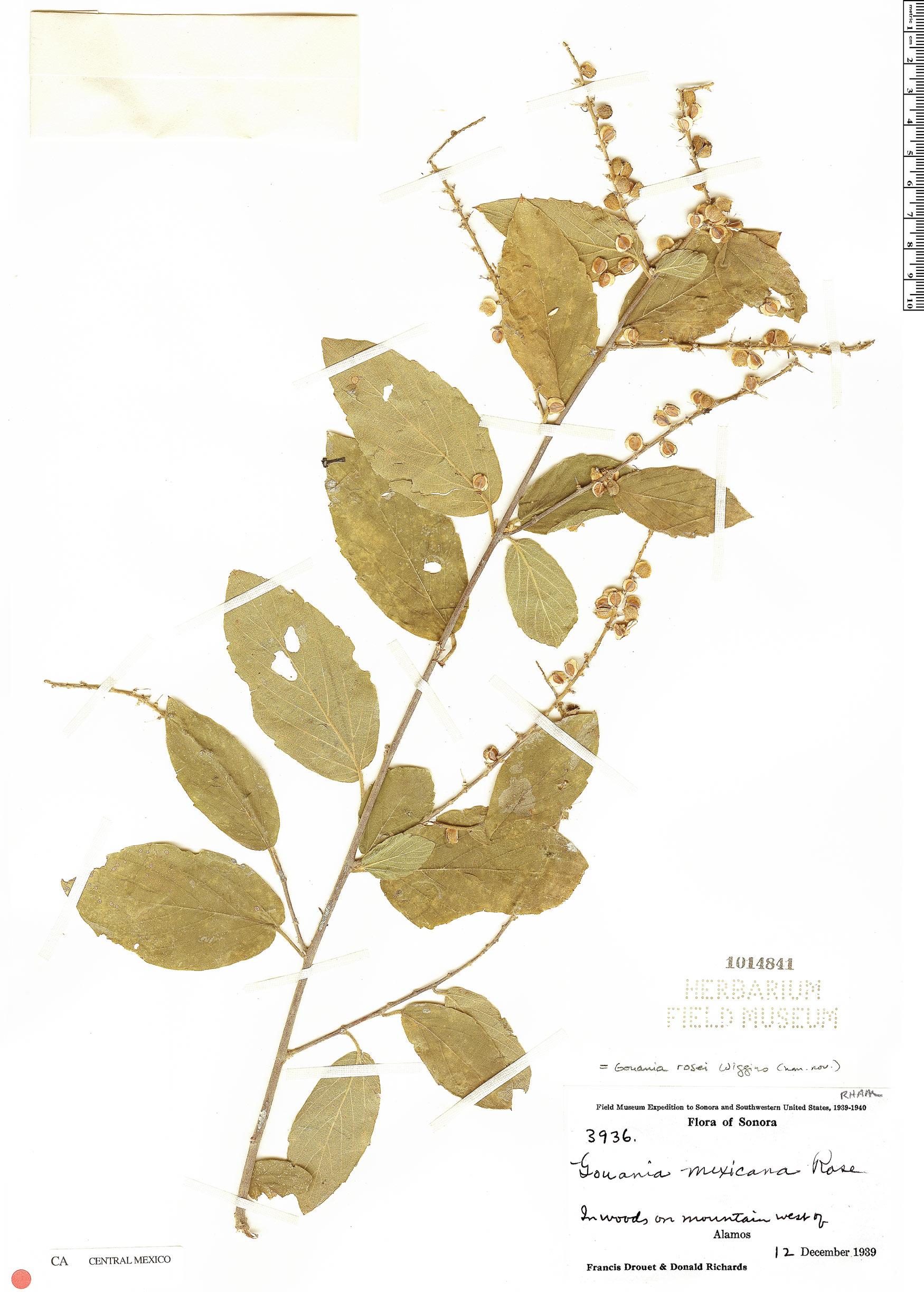 Gouania rosei image