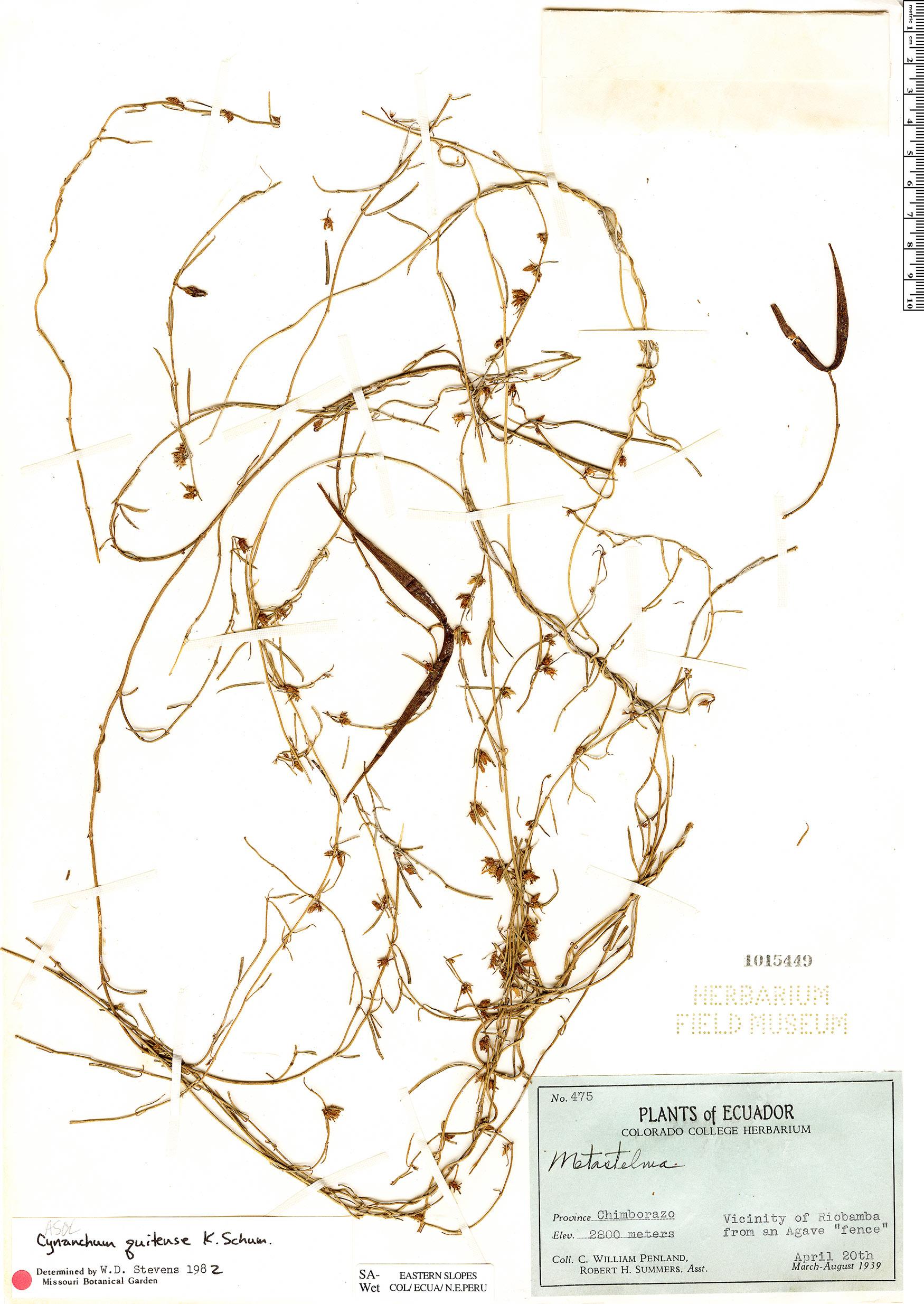 Specimen: Metastelma quitense
