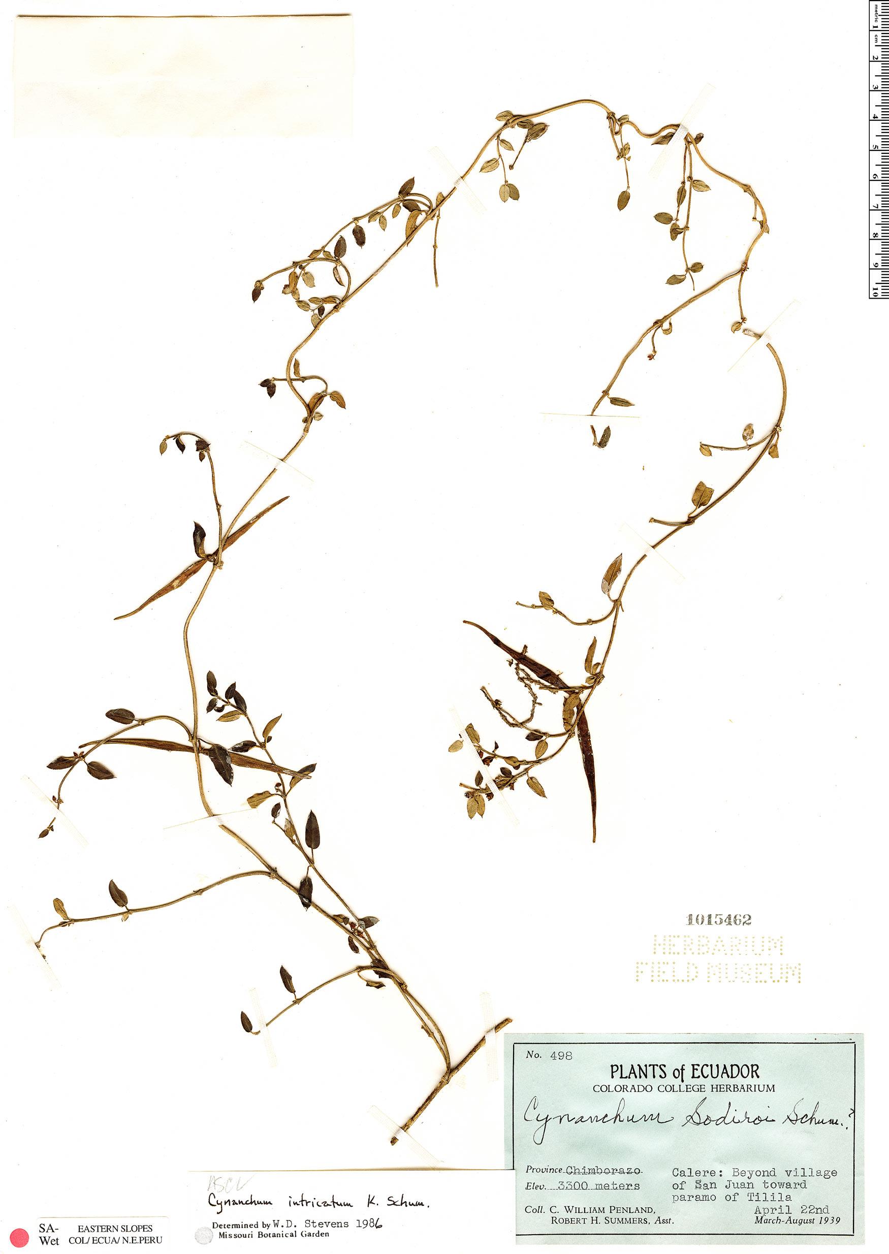 Specimen: Cynanchum intricatum