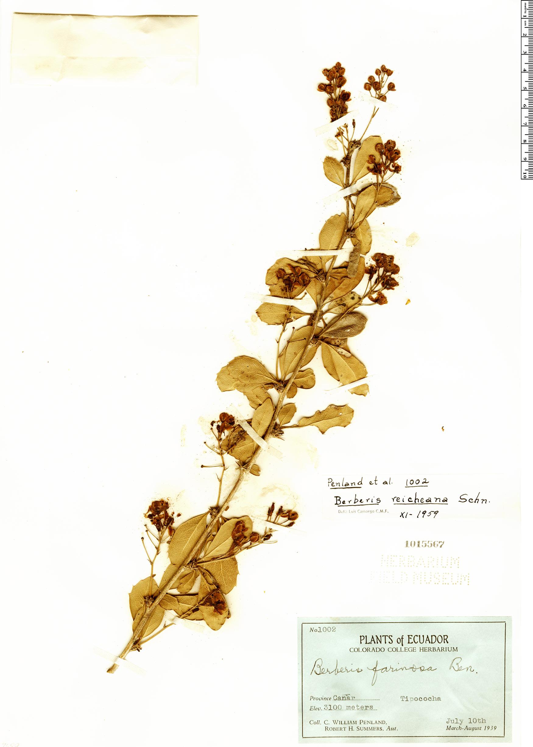 Espécimen: Berberis reicheana