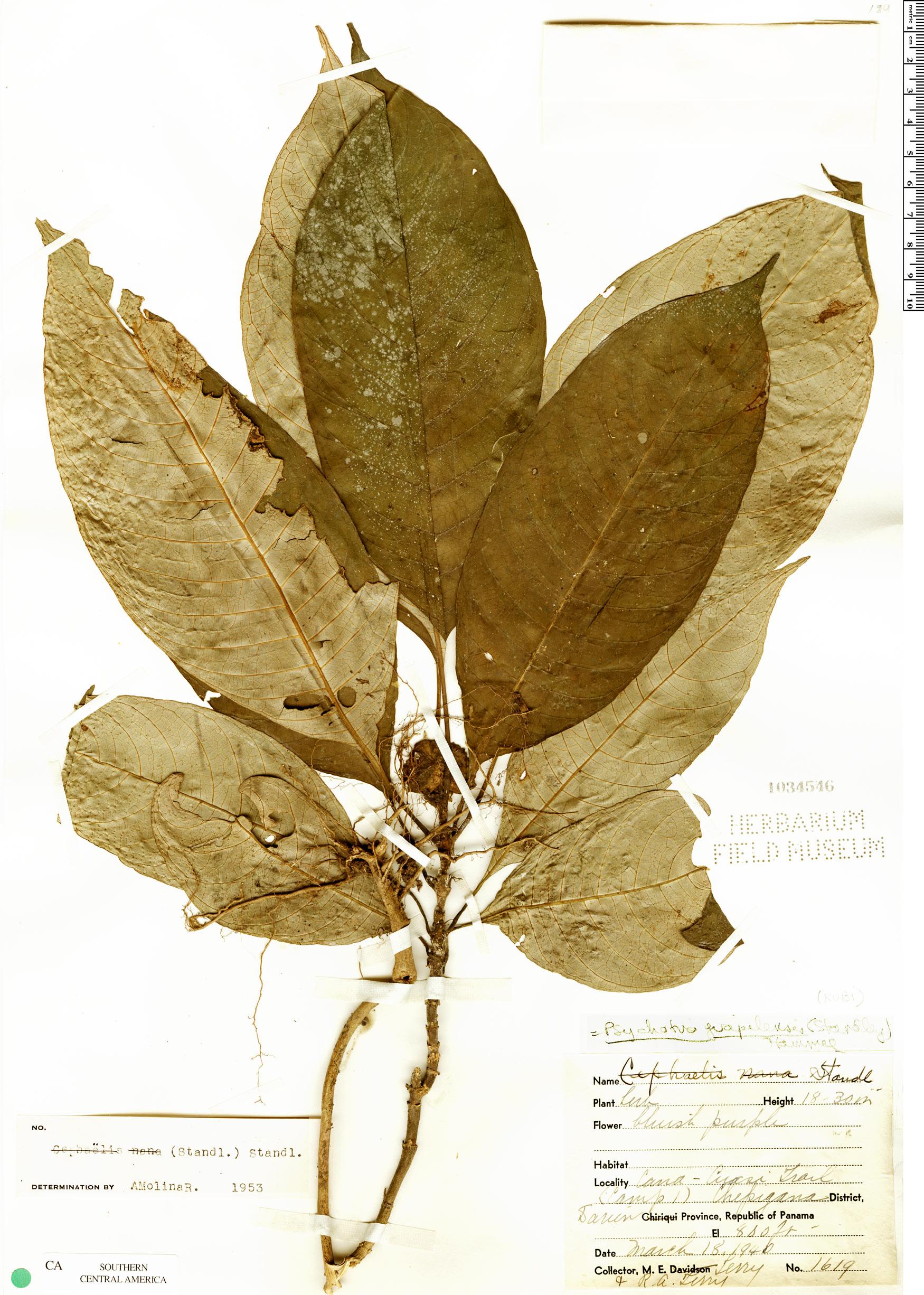 Specimen: Psychotria guapilensis