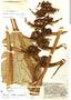 Heliconia adflexa (Griggs) Standl., Guatemala, J. A. Steyermark 37491, F