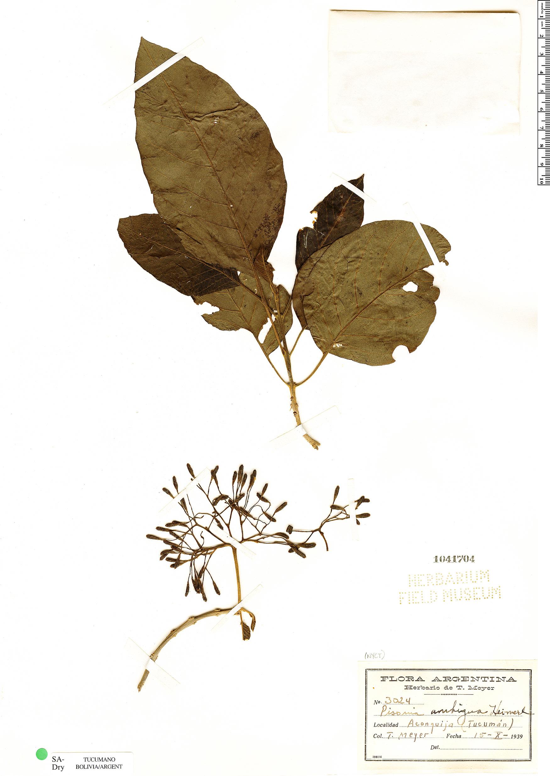 Specimen: Pisonia ambigua