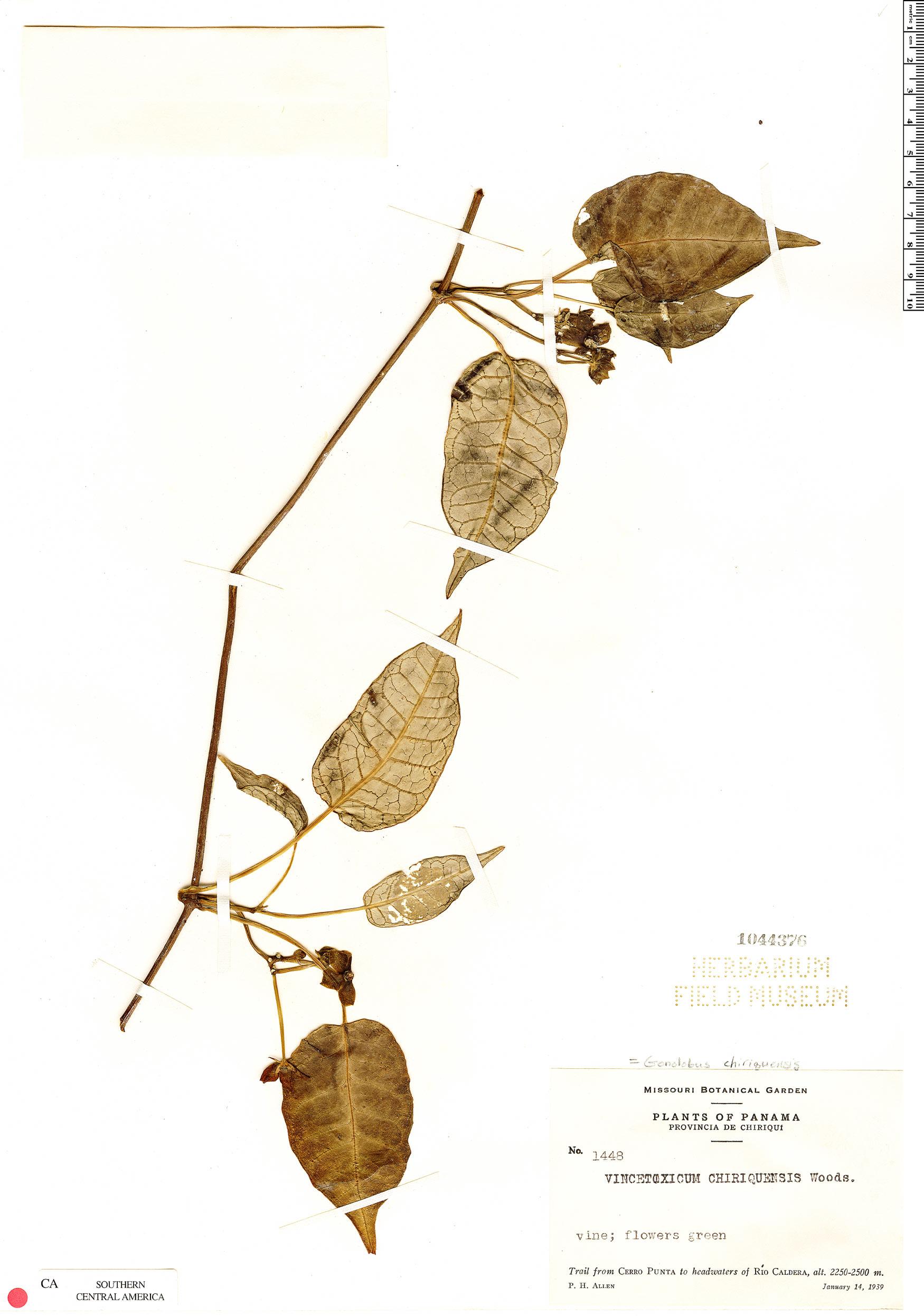 Espécimen: Gonolobus chiriquensis