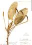 Stenospermation allenii A. Gómez & Croat, Panama, P. H. Allen 2198, F