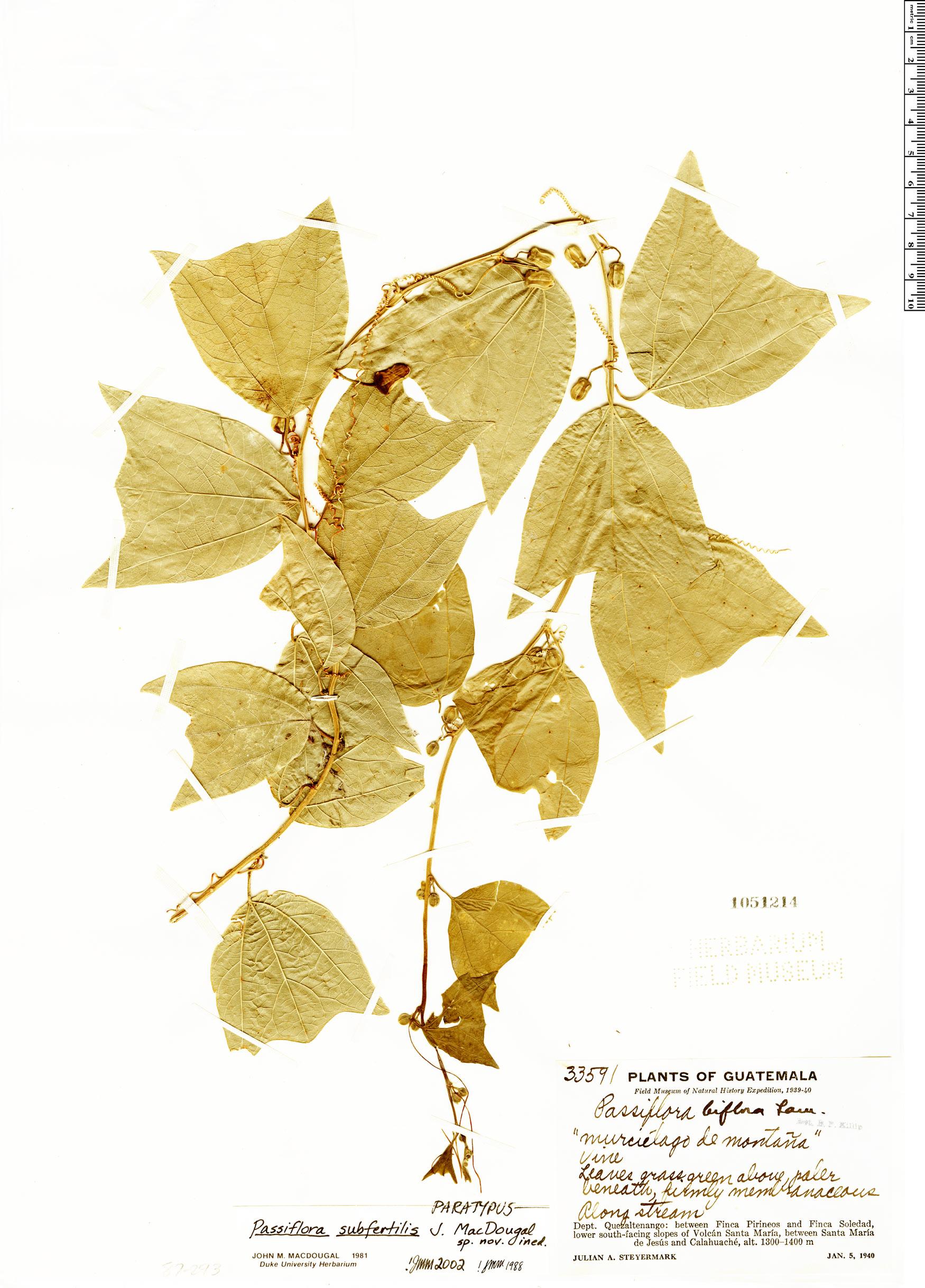 Specimen: Passiflora subfertilis