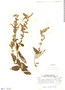 Salvia haenkei Benth., Bolivia, W. J. Eyerdam 24993, F