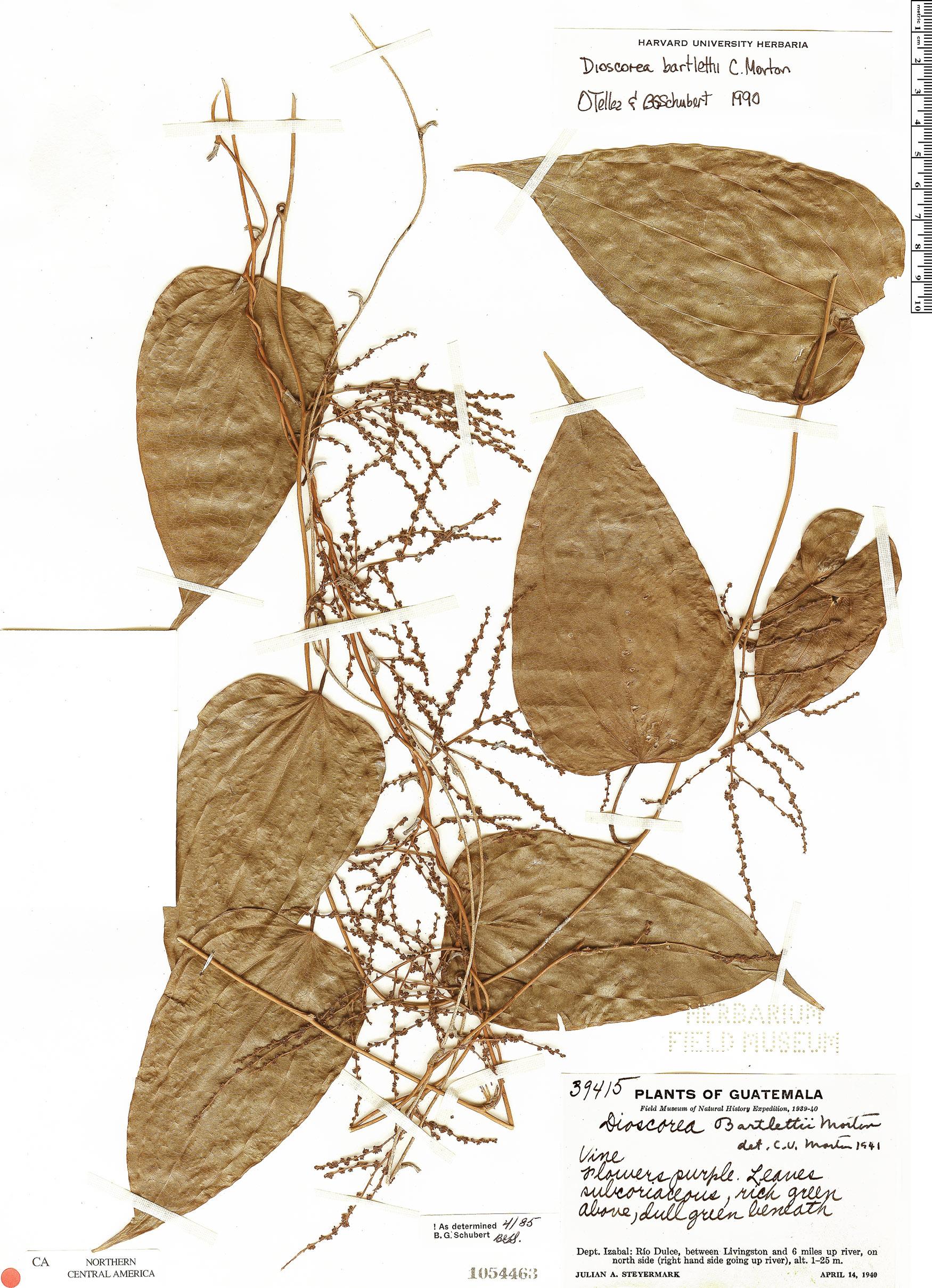 Dioscorea bartlettii image
