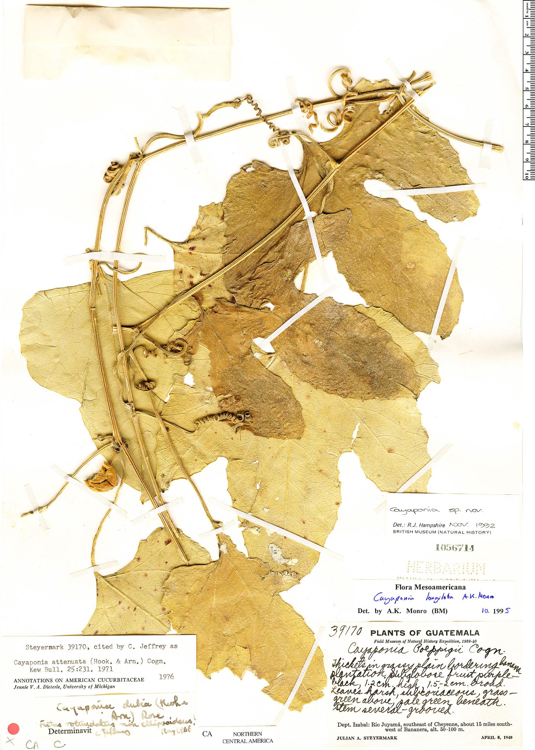 Cayaponia longiloba image
