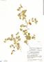 Lindernia diffusa (L.) Wettst., Guatemala, J. A. Steyermark 38910, F