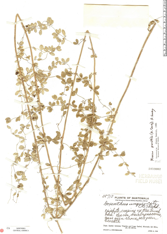 Specimen: Mansoa parvifolia