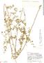 Mansoa parvifolia (A. H. Gentry) A. H. Gentry, Guatemala, J. A. Steyermark 38710, F