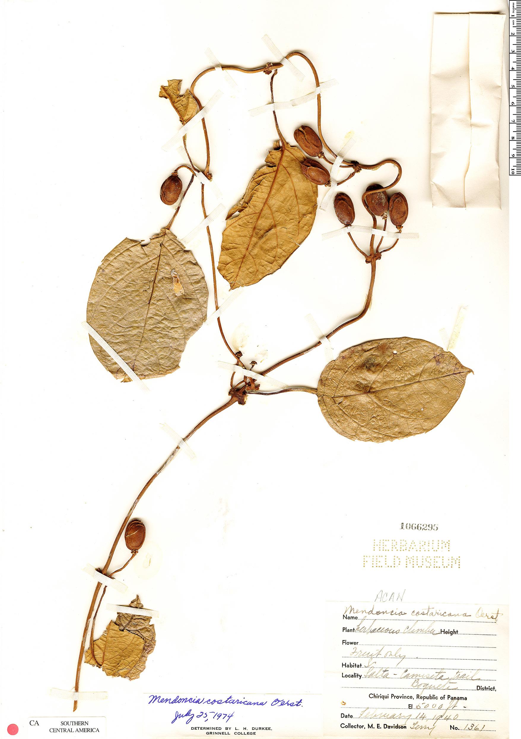 Specimen: Mendoncia costaricana