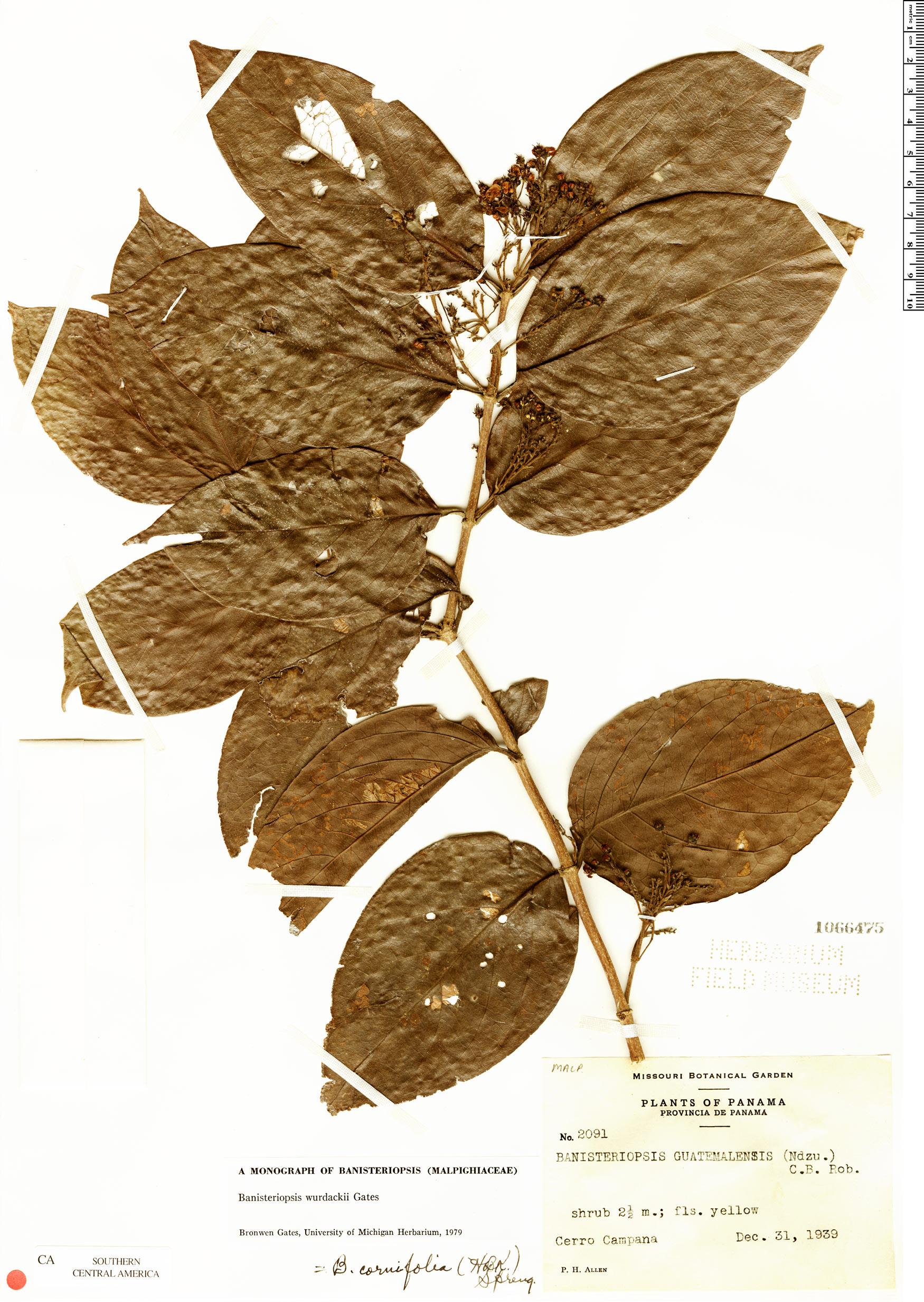 Specimen: Bronwenia wurdackii
