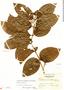 Bronwenia wurdackii (B. Gates) W. R. Anderson & C. Davis, Panama, P. H. Allen 2091, F