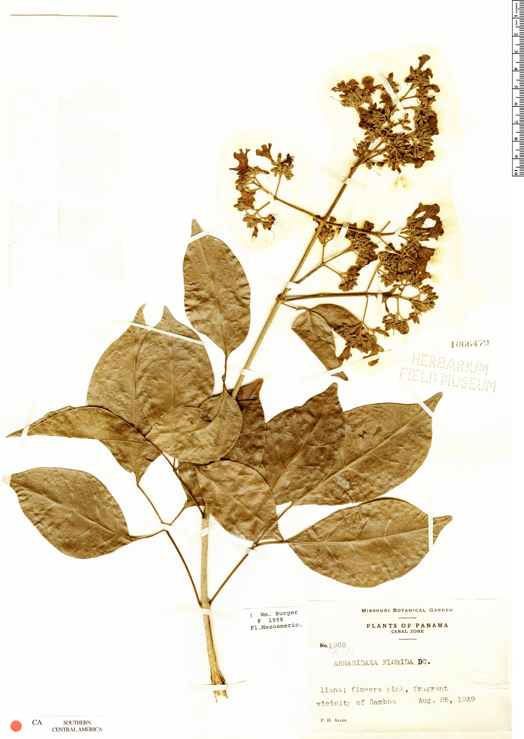 Specimen: Fridericia florida