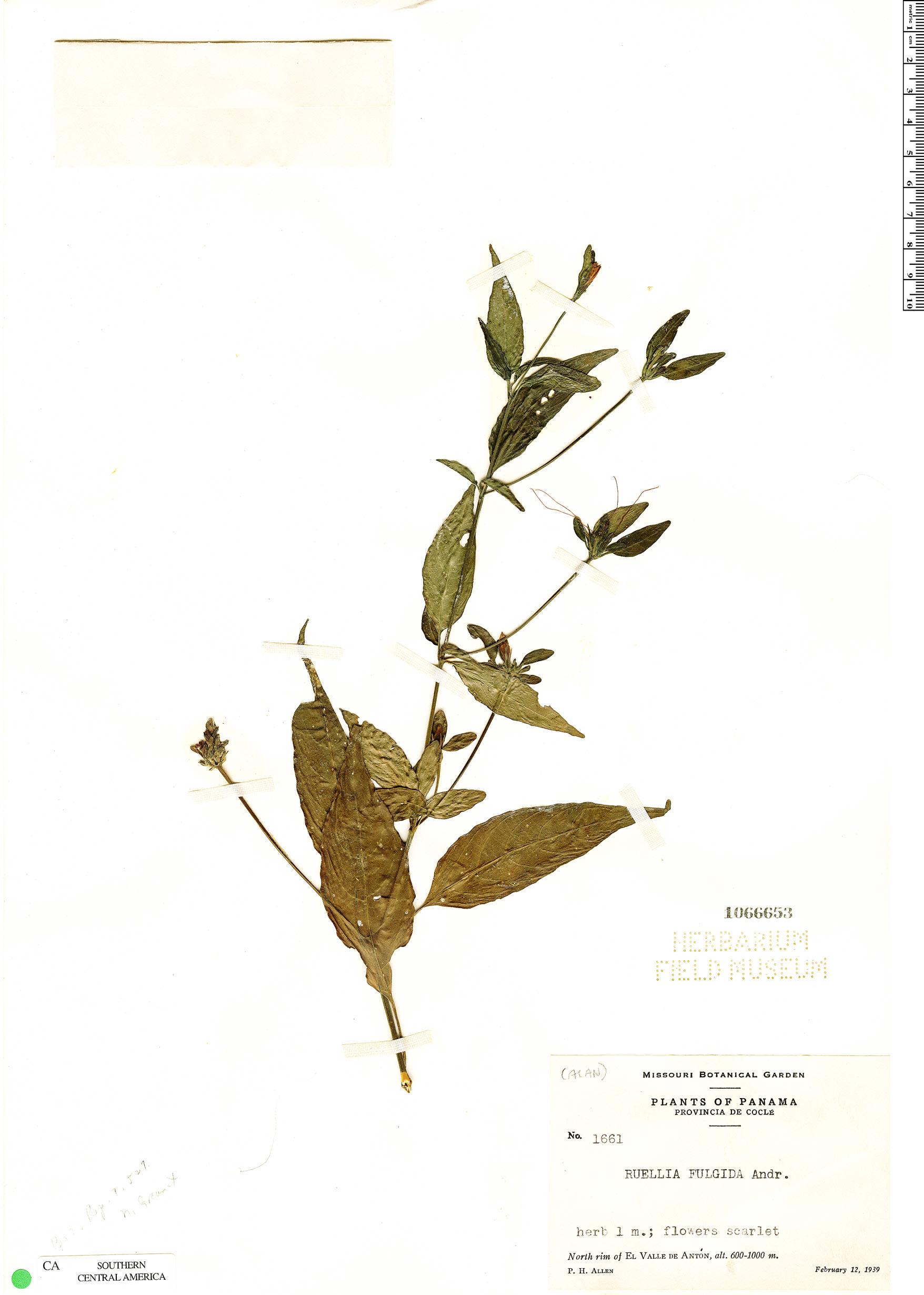 Espécime: Ruellia fulgida