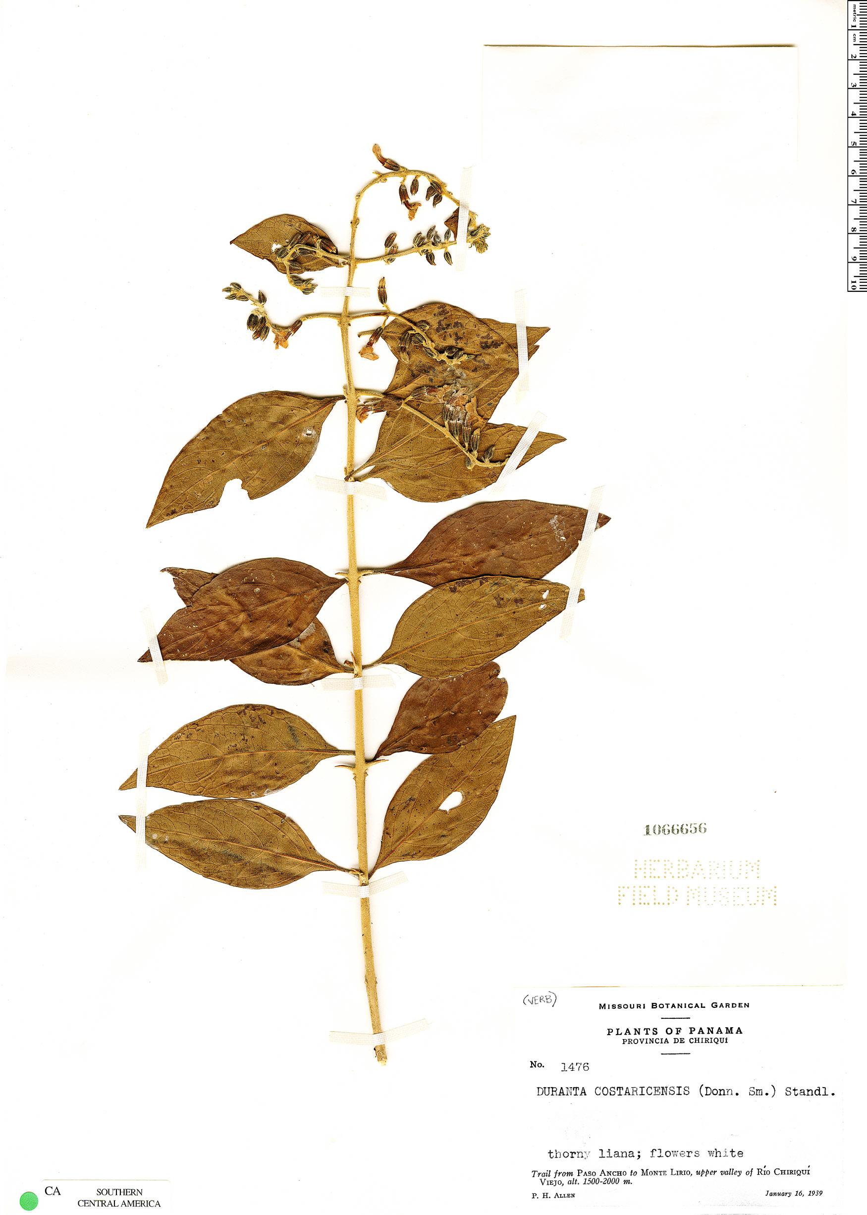 Specimen: Duranta costaricensis