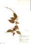 Salvia plurispicata Epling, Mexico, G. B. Hinton 13549, F