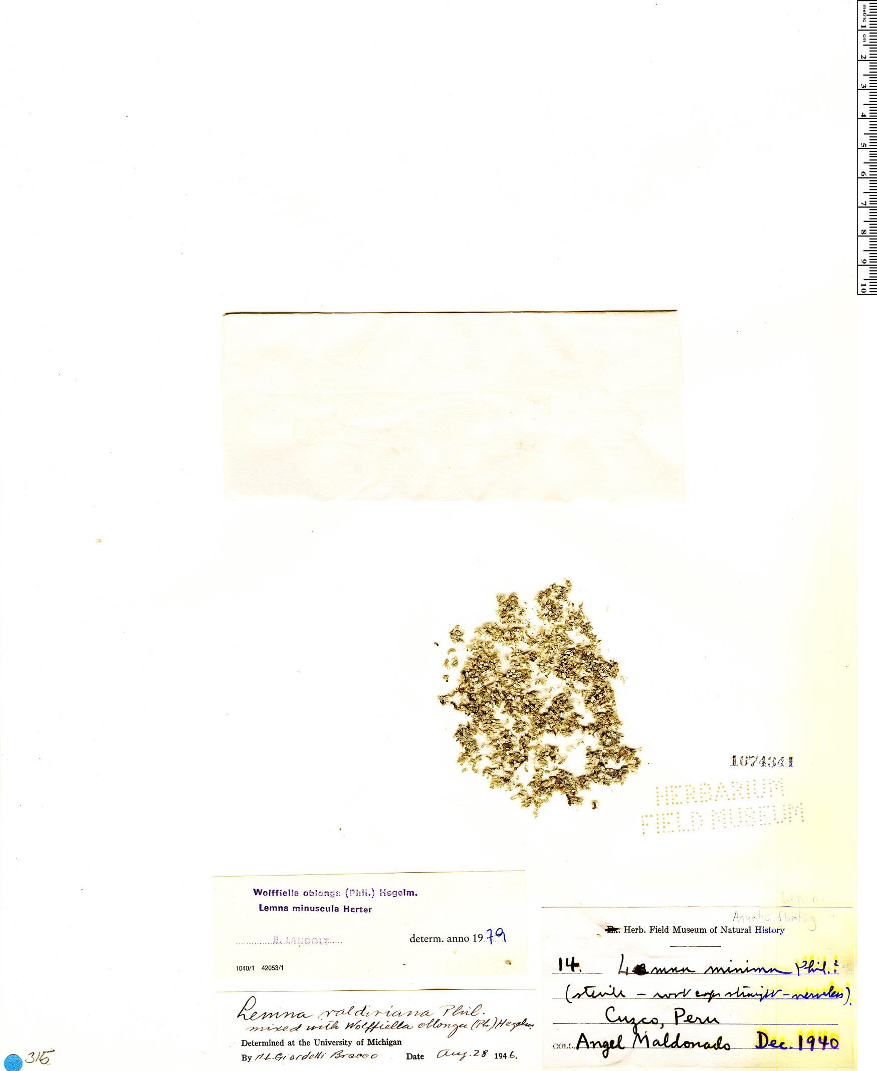 Wolffiella oblonga image