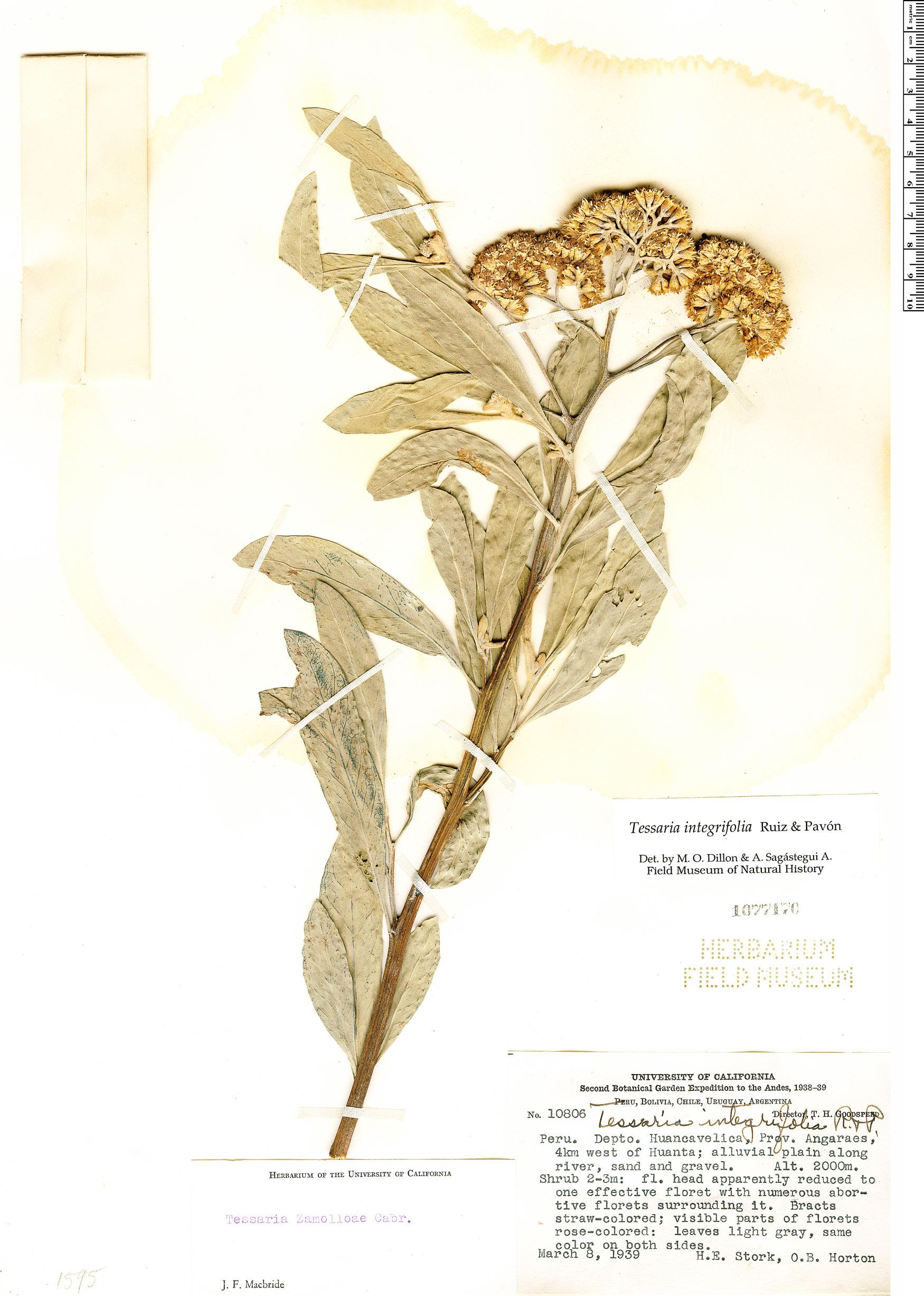 Specimen: Tessaria integrifolia