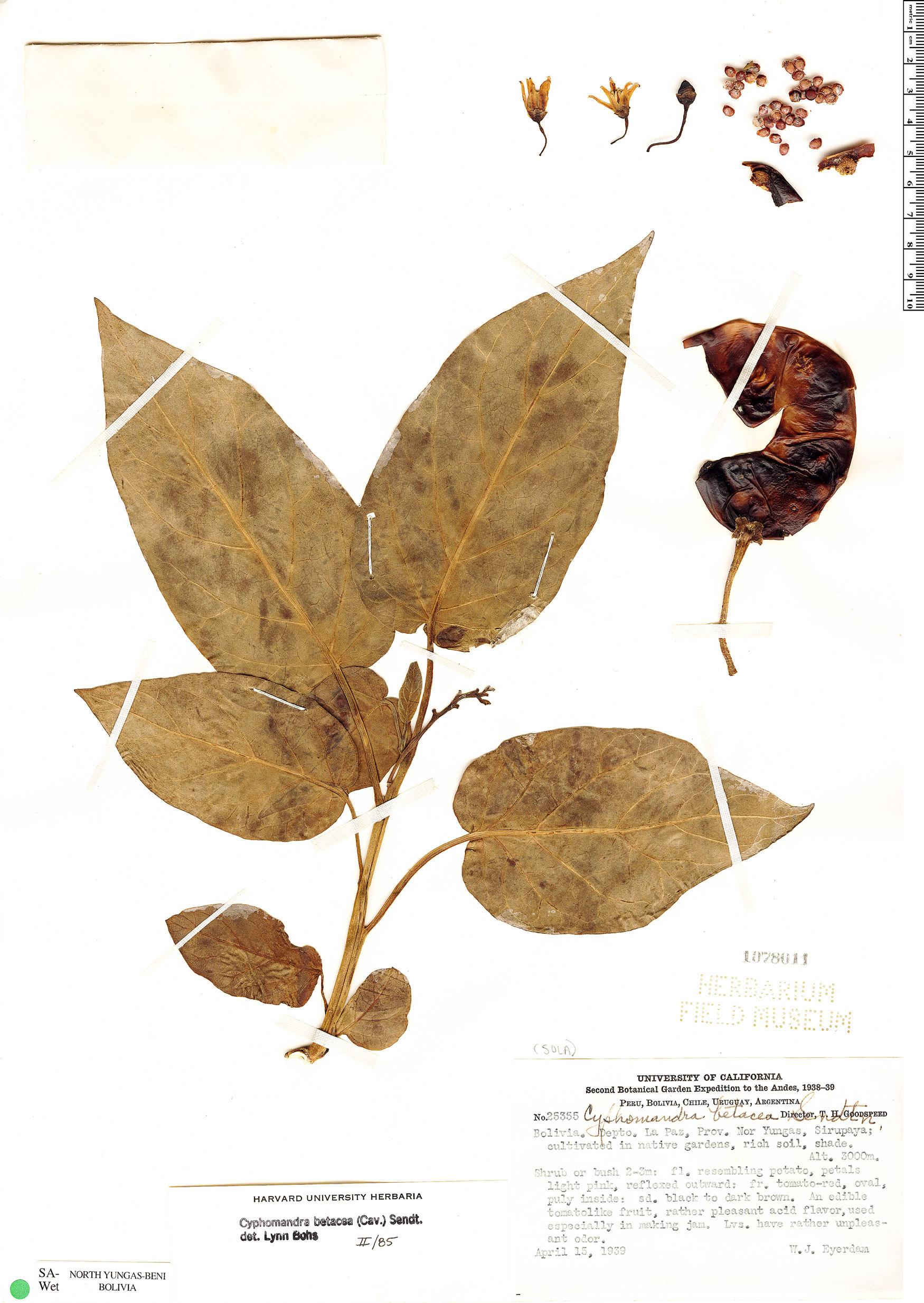 Specimen: Solanum betaceum
