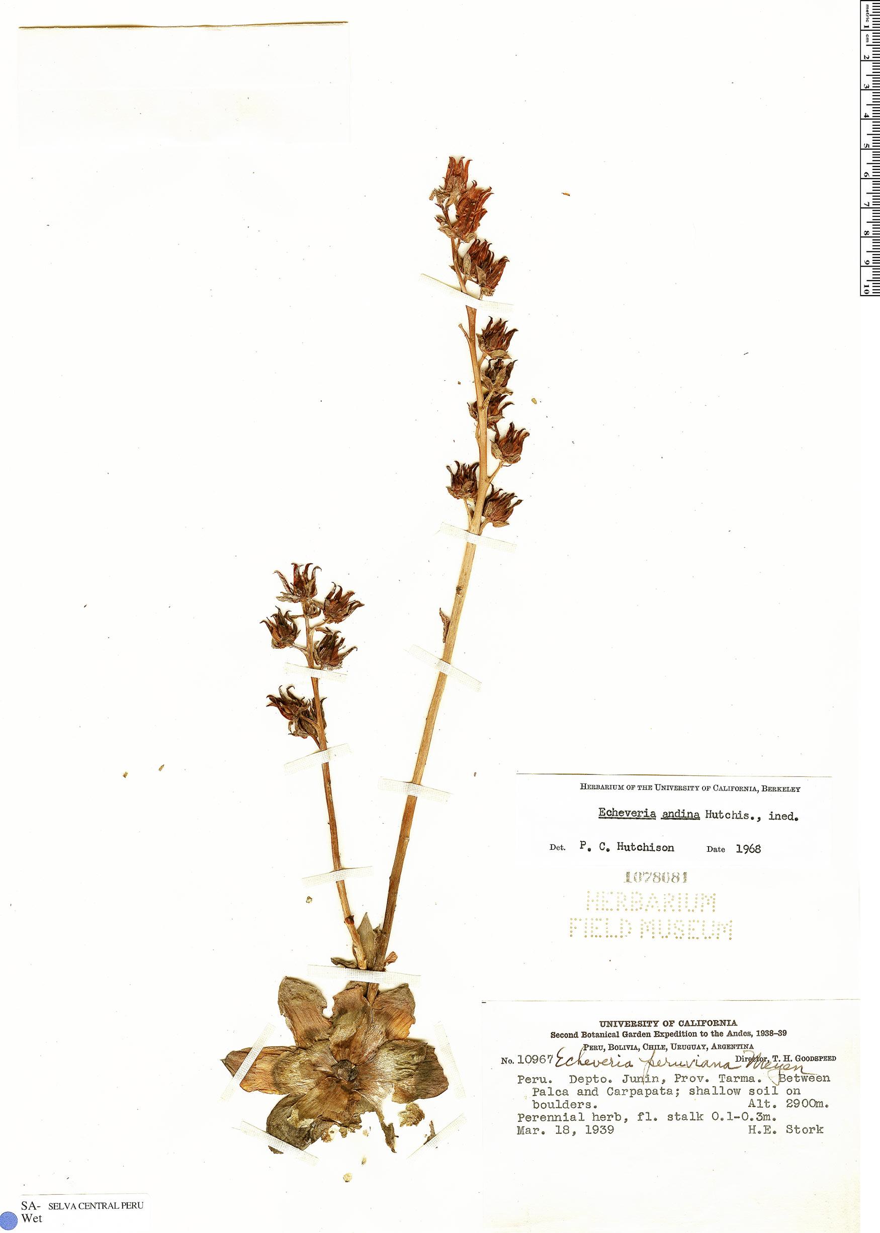 Specimen: Echeveria andicola