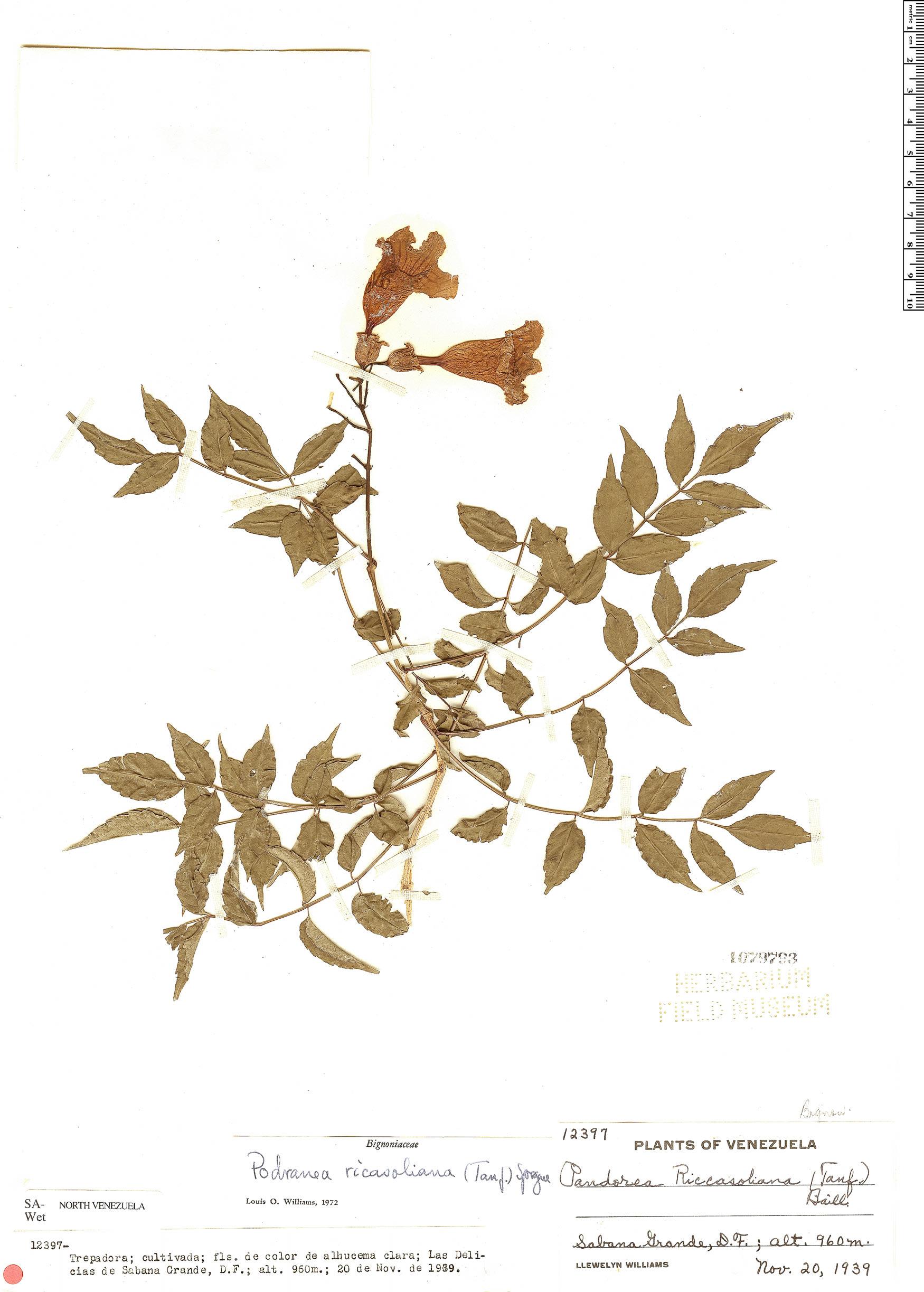 Specimen: Podranea ricasoliana