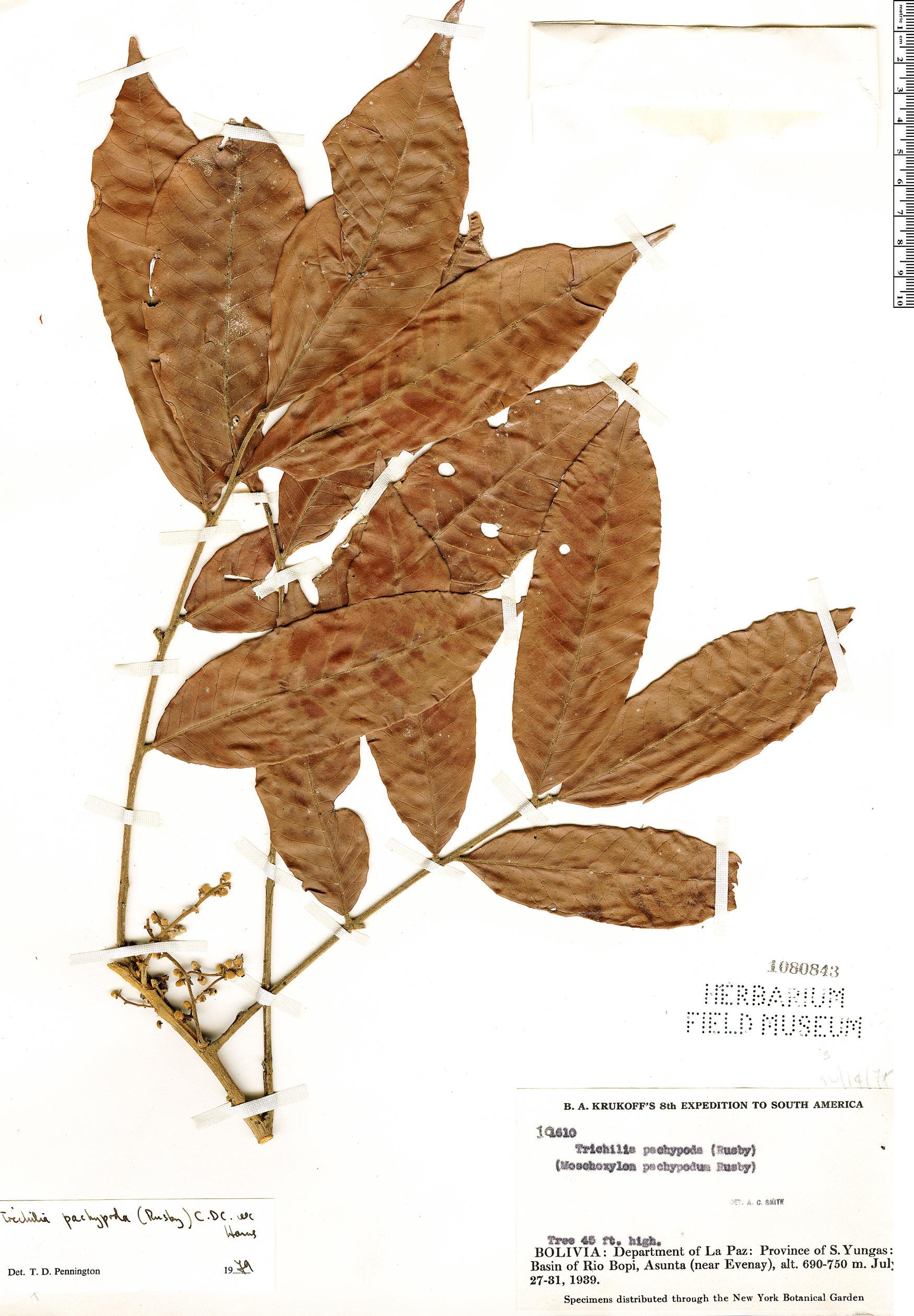 Specimen: Trichilia pachypoda