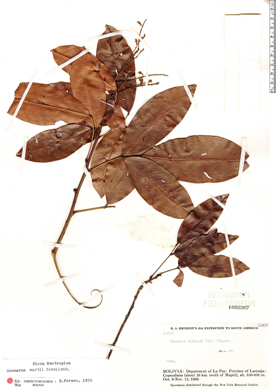 Specimen: Connarus martii