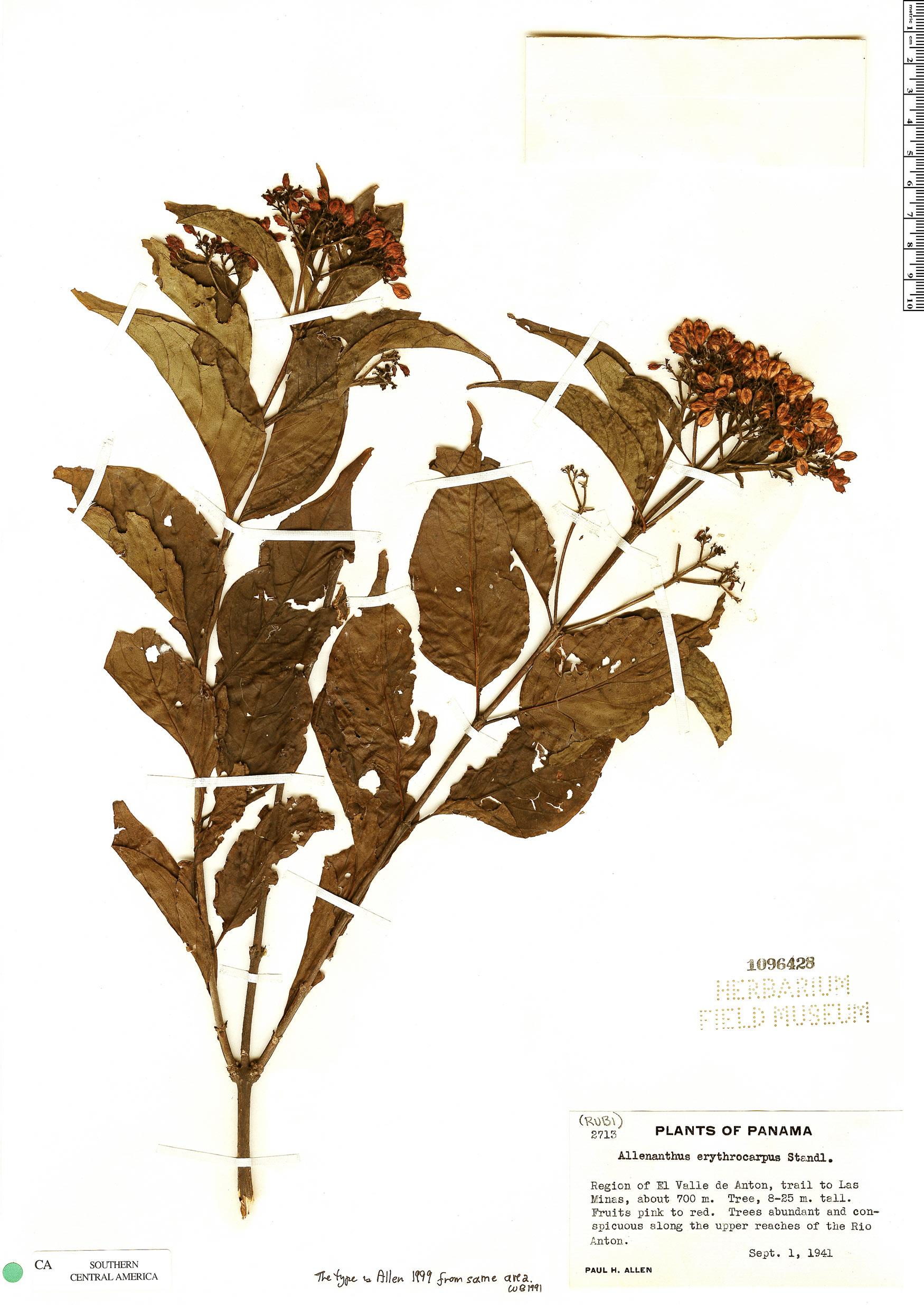 Specimen: Allenanthus erythrocarpus