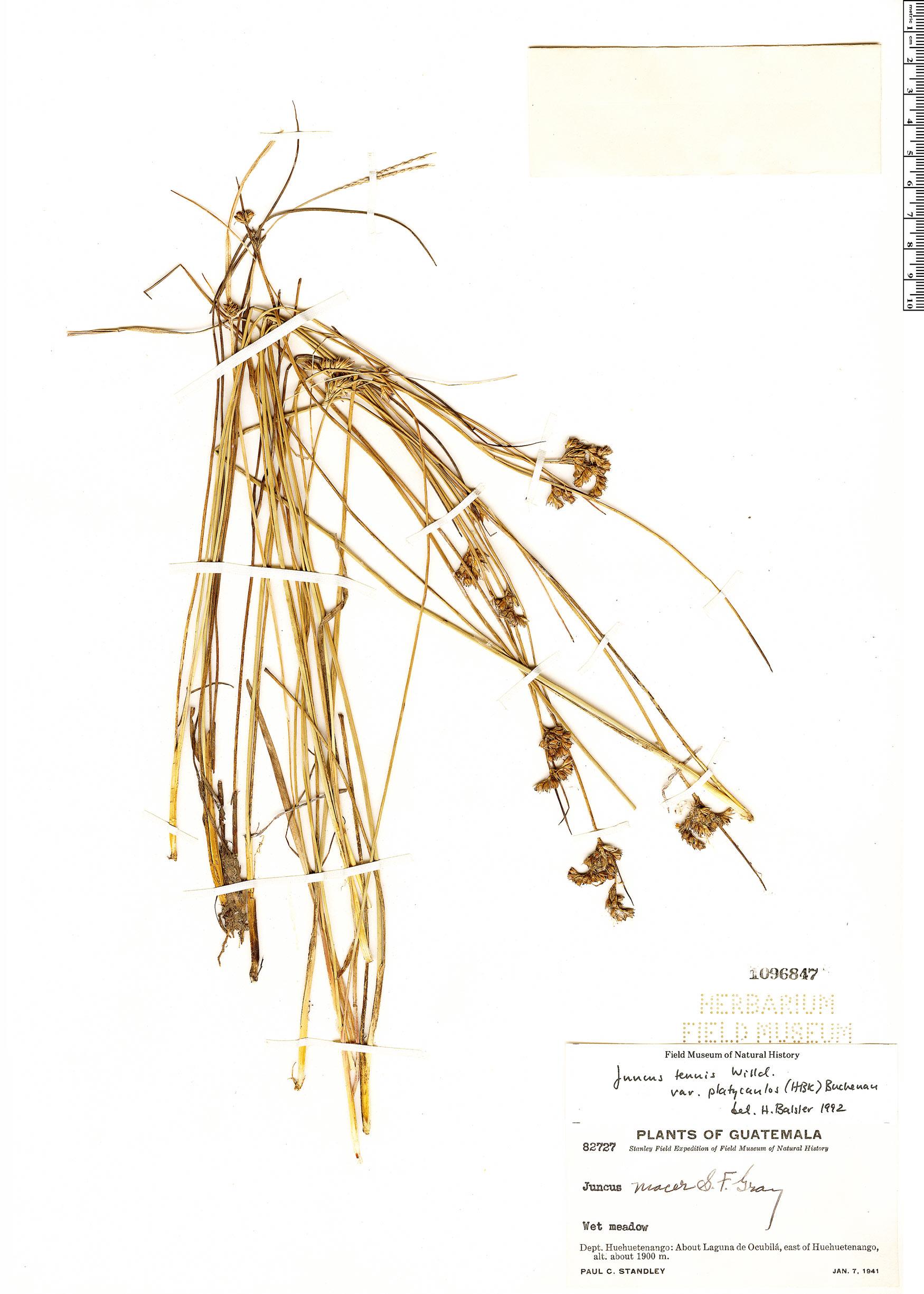 Juncus tenuis var. platycaulos image