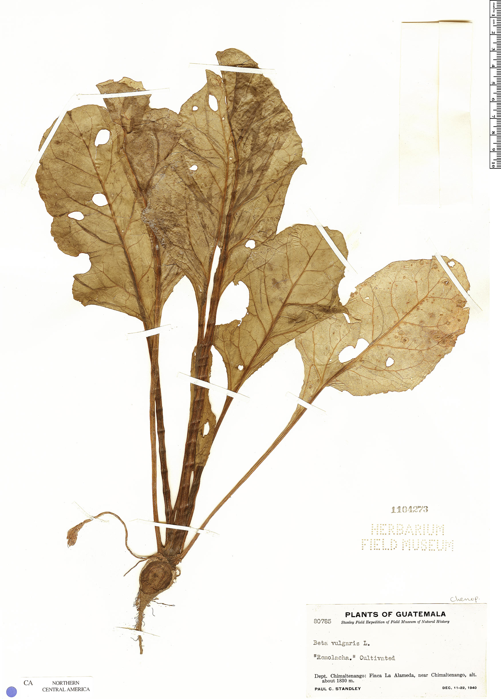 Beta vulgaris image