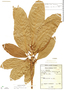 Ficus llanensis Dugand, Colombia, A. Dugand G. 2930, Isotype, F