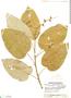 Croton billbergianus Müll. Arg., Guatemala, J. A. Steyermark 49214, F