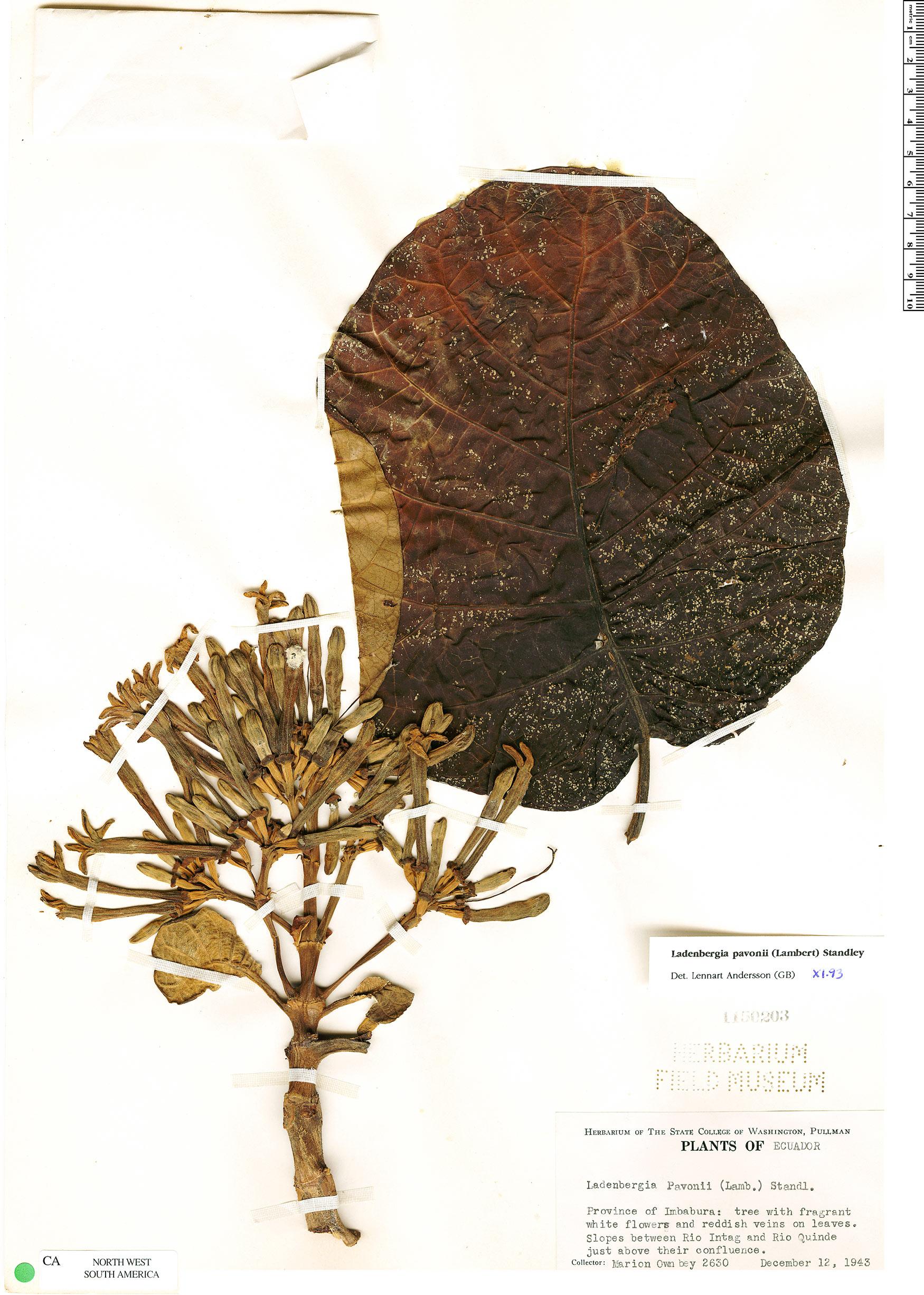 Specimen: Ladenbergia pavonii