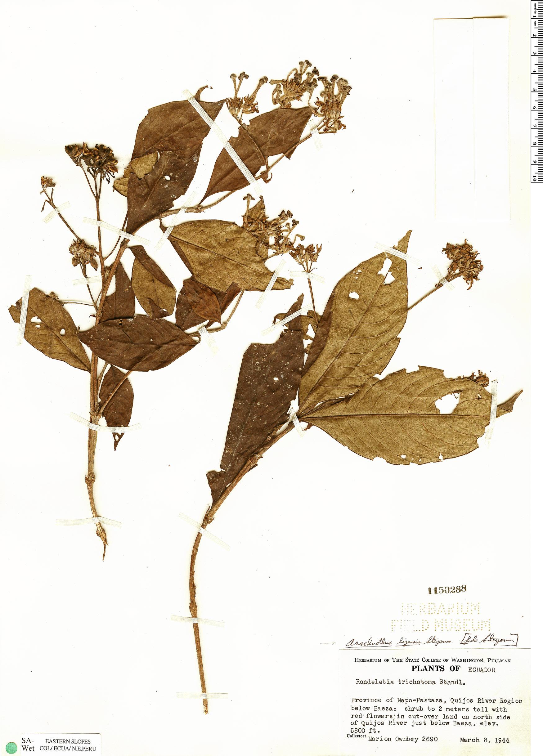 Specimen: Arachnothryx lojensis