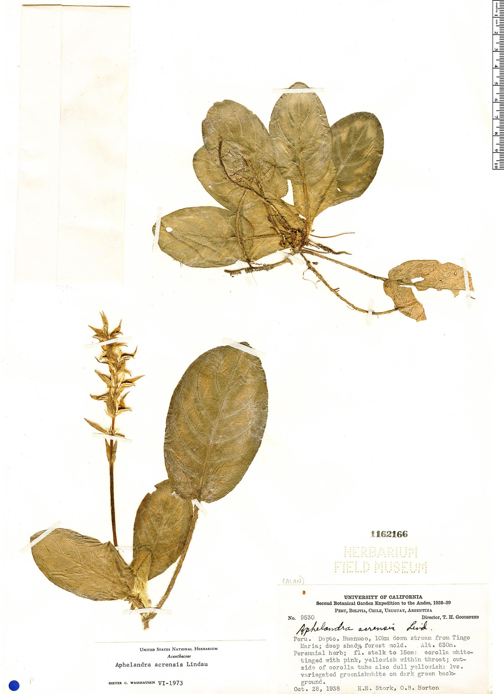 Specimen: Aphelandra acrensis