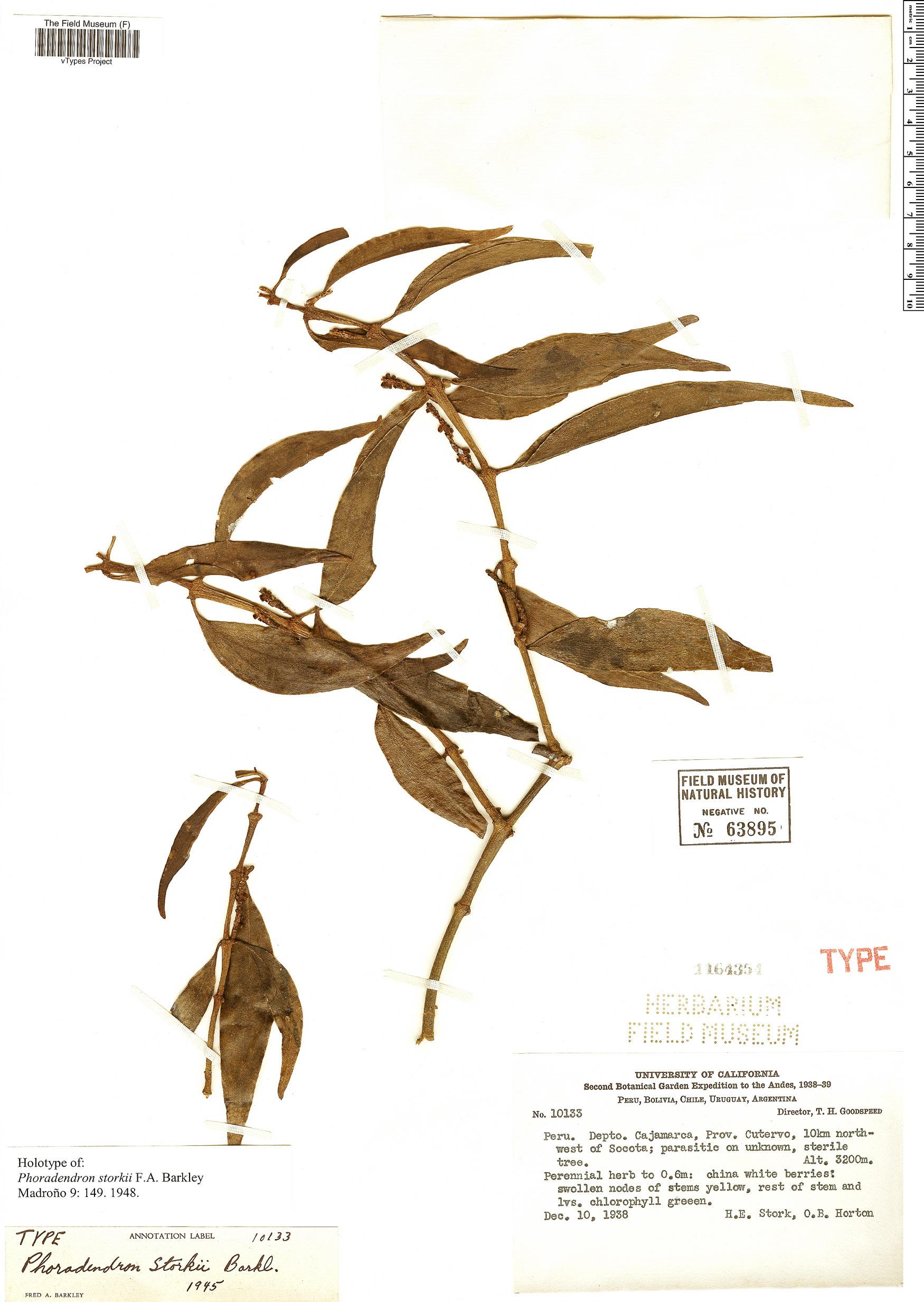 Specimen: Phoradendron storkii