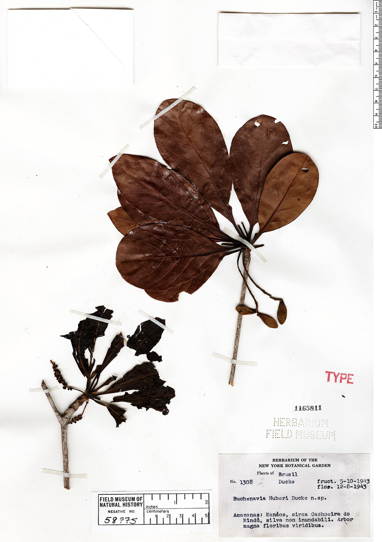 Espécimen: Buchenavia grandis