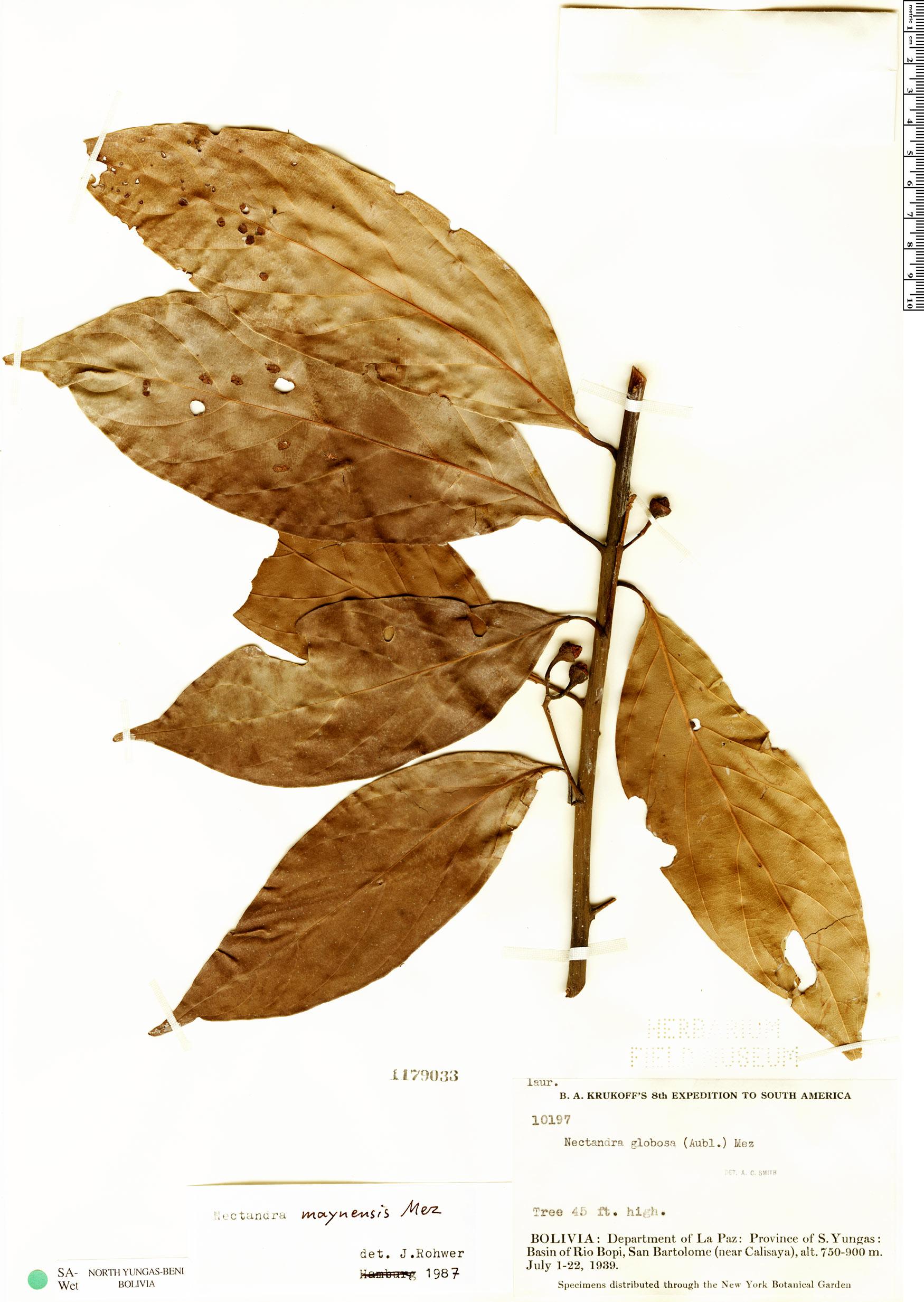 Specimen: Nectandra maynensis