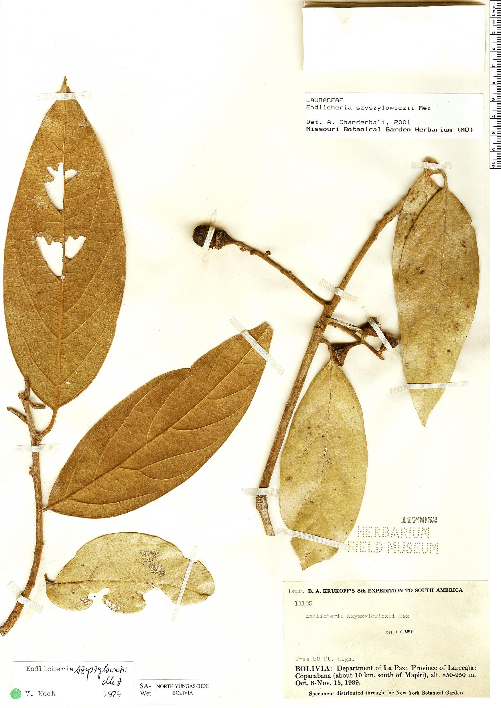 Specimen: Endlicheria szyszylowiczii