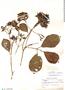 Macrocnemum humboldtianum Wedd., Ecuador, W. H. Camp 14, F