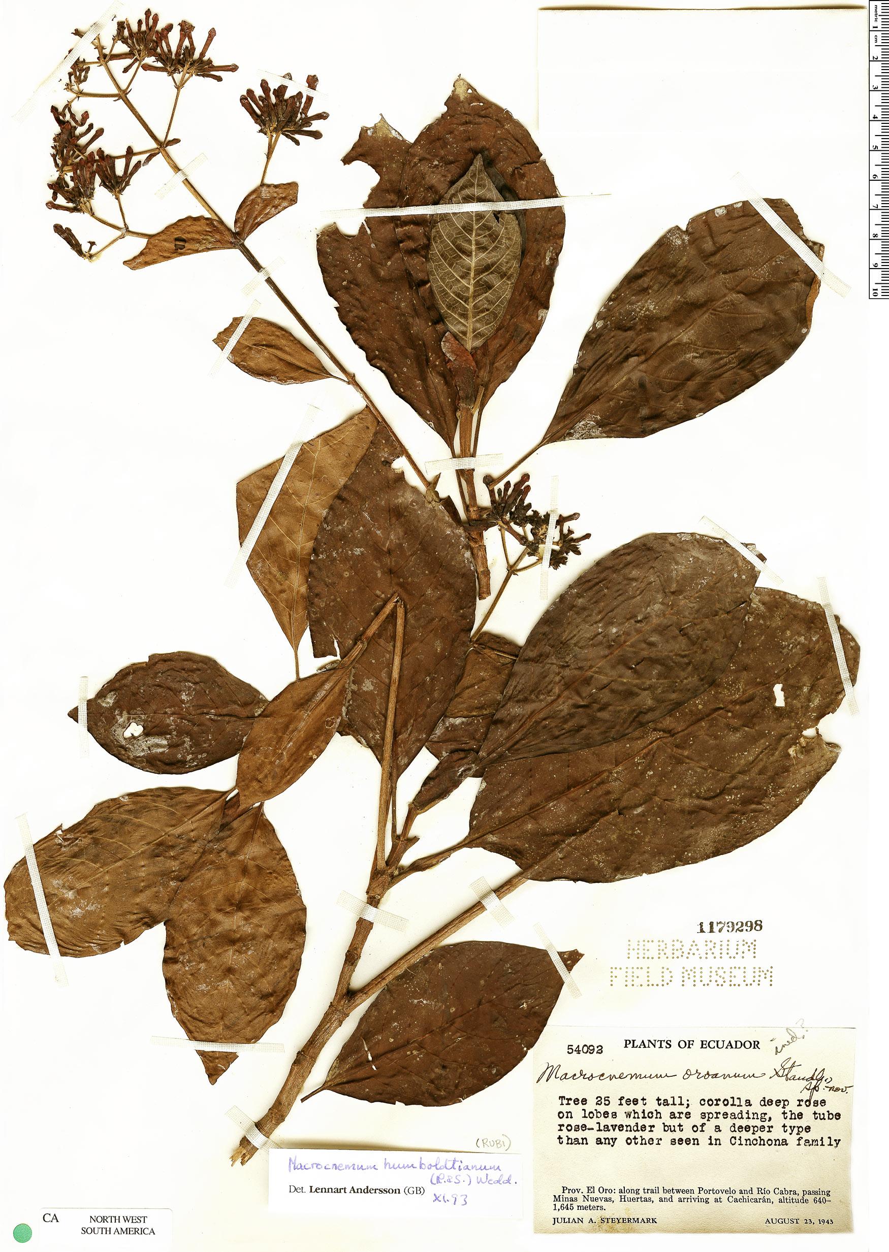 Specimen: Macrocnemum humboldtianum