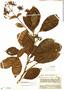 Macrocnemum humboldtianum Wedd., Ecuador, J. A. Steyermark 54092, F